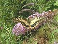 Papilio machaon1.jpg