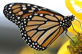 Papillon monarque.jpg