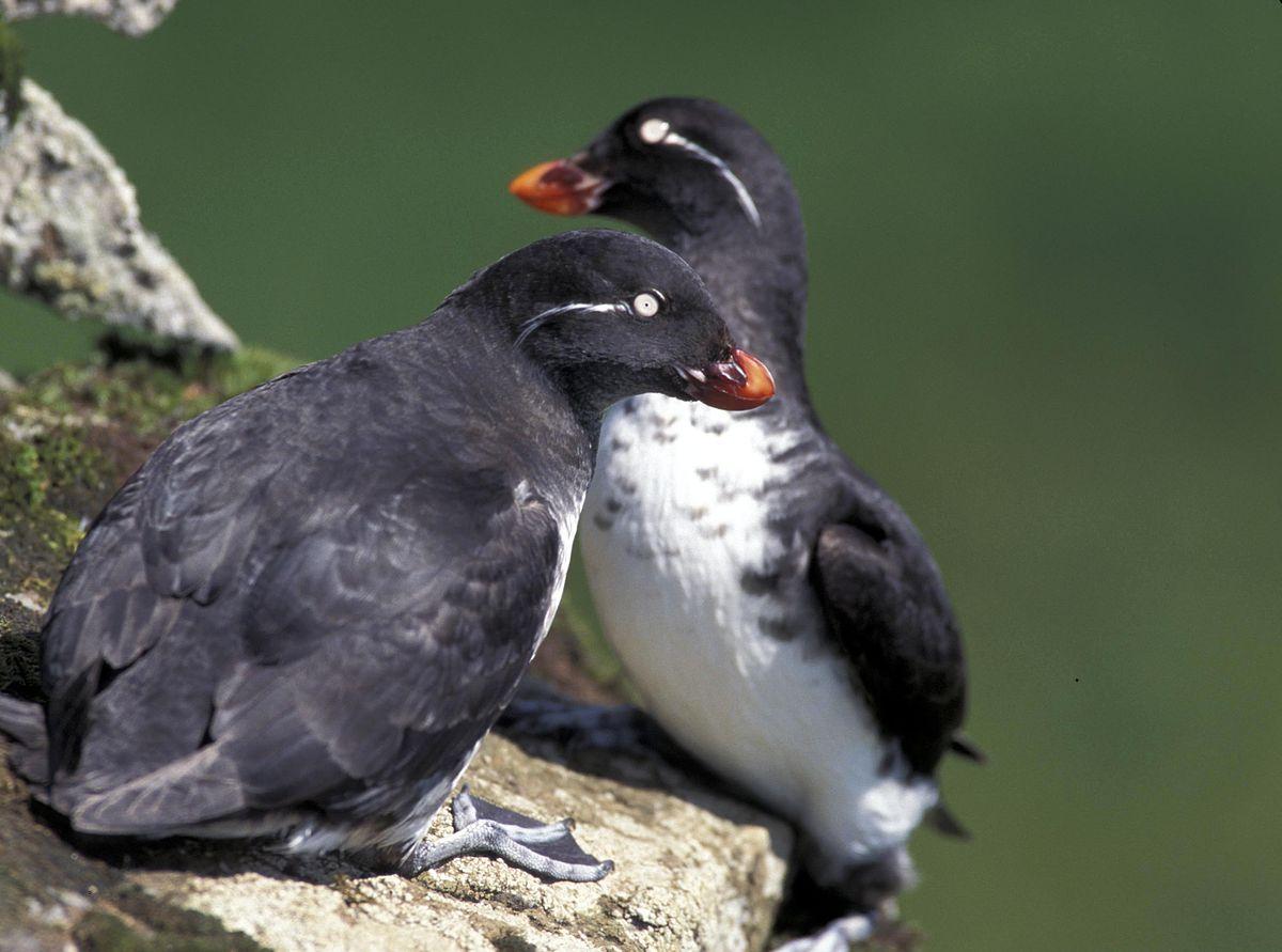 Image result for auks