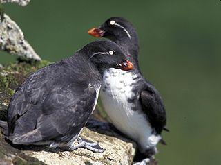 Auk Family of birds