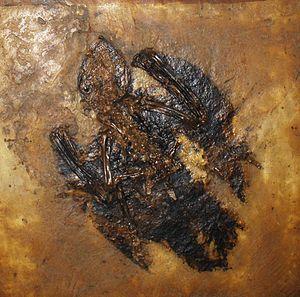 Caprimulgiformes - Paraprefica kelleri fossil