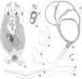 Parasite150040-fig10 Pseudorhabdosynochus mcmichaeli Kritsky, Bakenhaster & Adams, 2015 - FIGS 73-80.tif