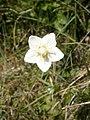 Parnassia palustris RHu.JPG