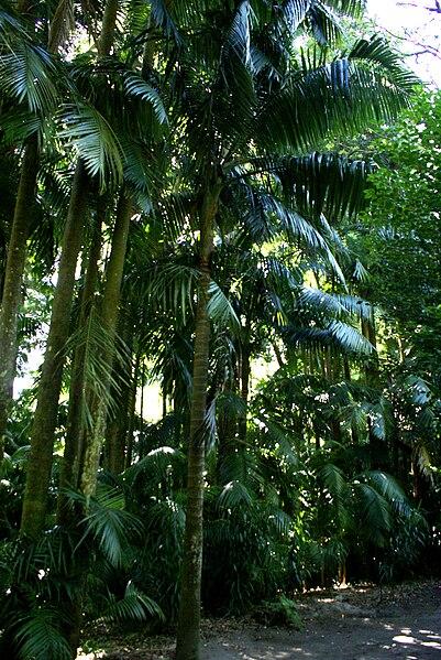 Ficheiro:Parque Terra Nostra, palmeiral, Furnas, Povoação, ilha de São Miguel, Açores.JPG
