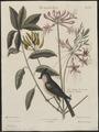Parus bicolor - 1700-1880 - Print - Iconographia Zoologica - Special Collections University of Amsterdam - UBA01 IZ16100159.tif