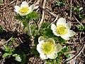 Pasque flower. Late July, 2012. (7afc9e03b3164d91917f1be4423271d6).JPG