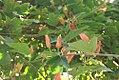Passiflora vitifolia Bracteosa 1zz.jpg