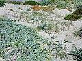 Passoscuro - Dune a nord, verso la spiaggia di Palidoro 5.jpg