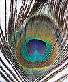 Pavo cristatus feather-mx.jpg