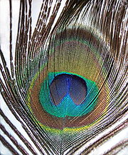 Pavo cristatus feather-mx.jpg