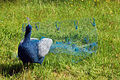 Peacock by Pauline Dawkins (3563176482).jpg