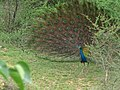 Peacock coimbatore.jpg