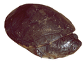 Pelusios castaneus hatchling - journal.pone.0057116.g001-inset.png