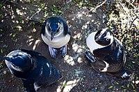 Penguins at Boulders Beach, Cape Town (28).jpg
