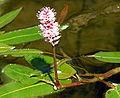Persicaria amphibia.jpg