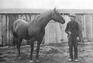 American Quarter Horse - A photograph of Peter McCue, taken in Oklahoma around 1905.