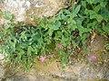 Petrocoptis grandiflora.003 - Serra de Enciña de Lastra.JPG