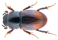 Phalacronotus biguttatus (Germar, 1824) Syn.- Aphodius (Phalacronotus) biguttatus Germar, 1824 (36420039334).png