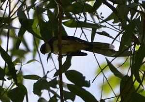 Philippine pied fantail - Image: Philippine Pied Fantail
