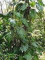 Philodendron giganteum (Épiphyte).jpg
