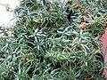 Phlox subulata 01.jpg