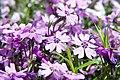 Phlox subulata Purple Beauty 4zz.jpg