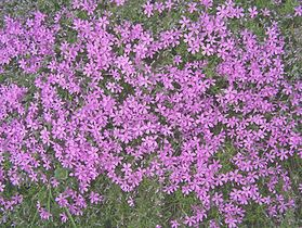 Phlox subulata a1.jpg