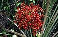 Phoenix sylvestris (fruit).jpg