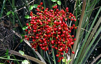 Phoenix (plant) - P. sylvestris synonym Phoenix sylvestris has edible sweet fruits.