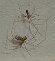 Pholcus phalangioides eating wasp 7.jpg