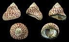 Phorcus sauciatus 01.JPG
