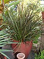Phormium tenax (unidentified cultivar) Pot 2000px.jpg