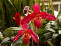 Phragmipedium Memoria Dick Clements.jpg
