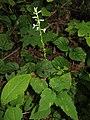 Phryma leptostachya var. asiatica 10.JPG