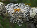 Physcia leptalea (Ach.) DC 324614.jpg