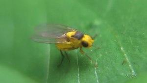 File:Phytoliriomyza melampyga - 2013-07-12.webm