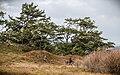 Picea sitchensis, Fourmile Creek, Coos Bay, Oregon 1.jpg