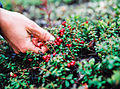 Picking lingonberries near Dawson City, Yukon (11003746816).jpg