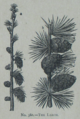 Picture Natural History - No 380 - The Larch.png