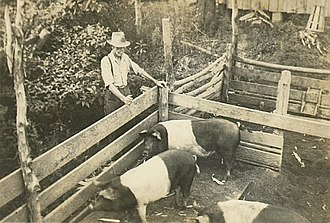 Sty - Family farm hog pen with Hampshire pigs
