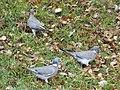 Pigeons ramiers Périgueux (3).jpg