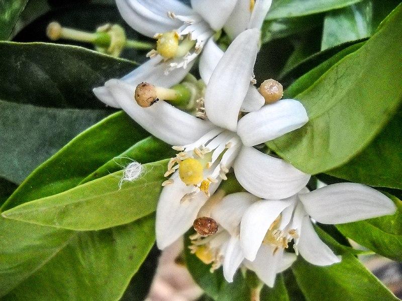 File pikiwiki israel 30943 lemon tree for Comment entretenir un citronnier