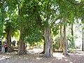PikiWiki Israel 5477 bengal ficus in mikve israel.jpg