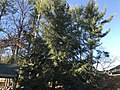 Pine Tree Around Campus.jpg