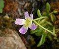 Pinguicula balcanica. Balkan Butterwort (45760006072).jpg