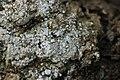 Pink Earth Lichen - Dibaeis baeomyces (43752457254).jpg