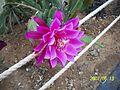 Pink Epiphyllum (3425040346).jpg