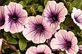 Pink Mauve Petunia (211679021).jpeg