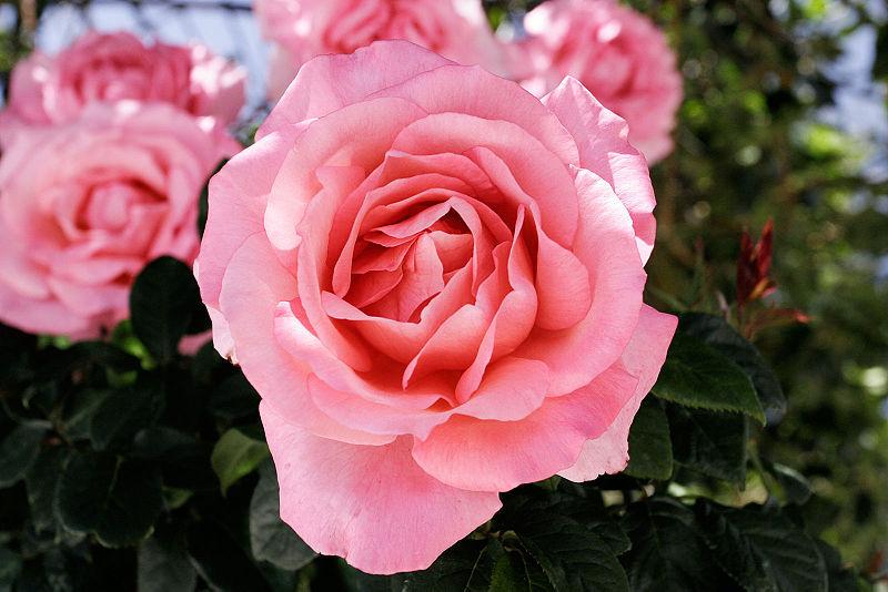 File:Pink rose cultivar.jpg