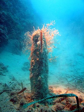 Giant fan mussel of the type relocated away from the Costa Concordia wreck for fear of the threat posed by subsequent engineering work Pinnidae - Pinna nobilis-001.jpg